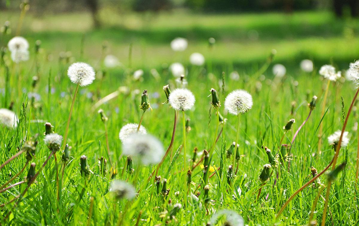 поле одуванчиков летом фото новороссийске будет