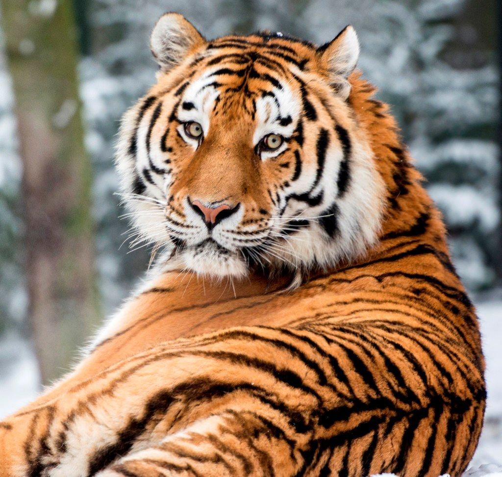 картинки про амурские тигры рядом оказались чеченские