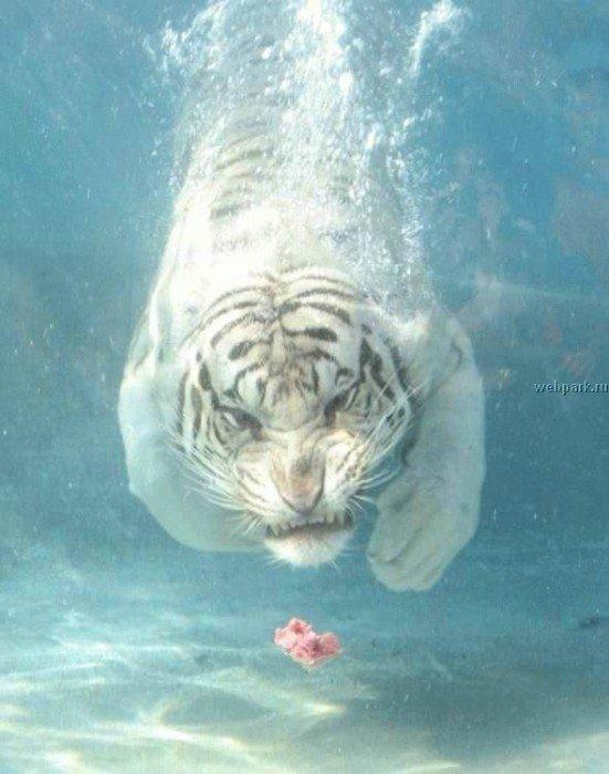 Тигр в погоне за мясом.