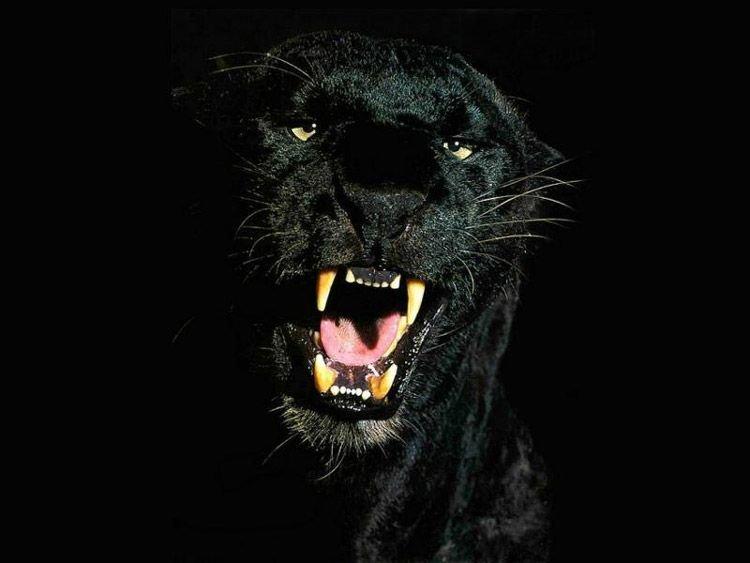 фото пантера на черном фоне анимационные открытки блестящие