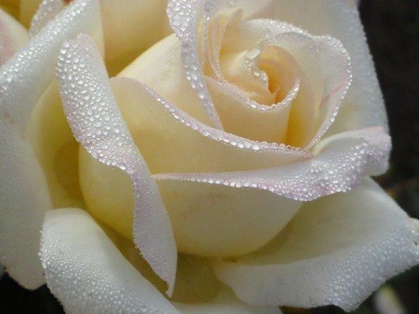 На протяжении многих веков роза была символом красоты, именно с этим цветком принято было сравнивать красоту женщины.