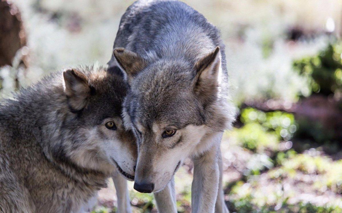 Фотографии волков в высоком качестве позвоните