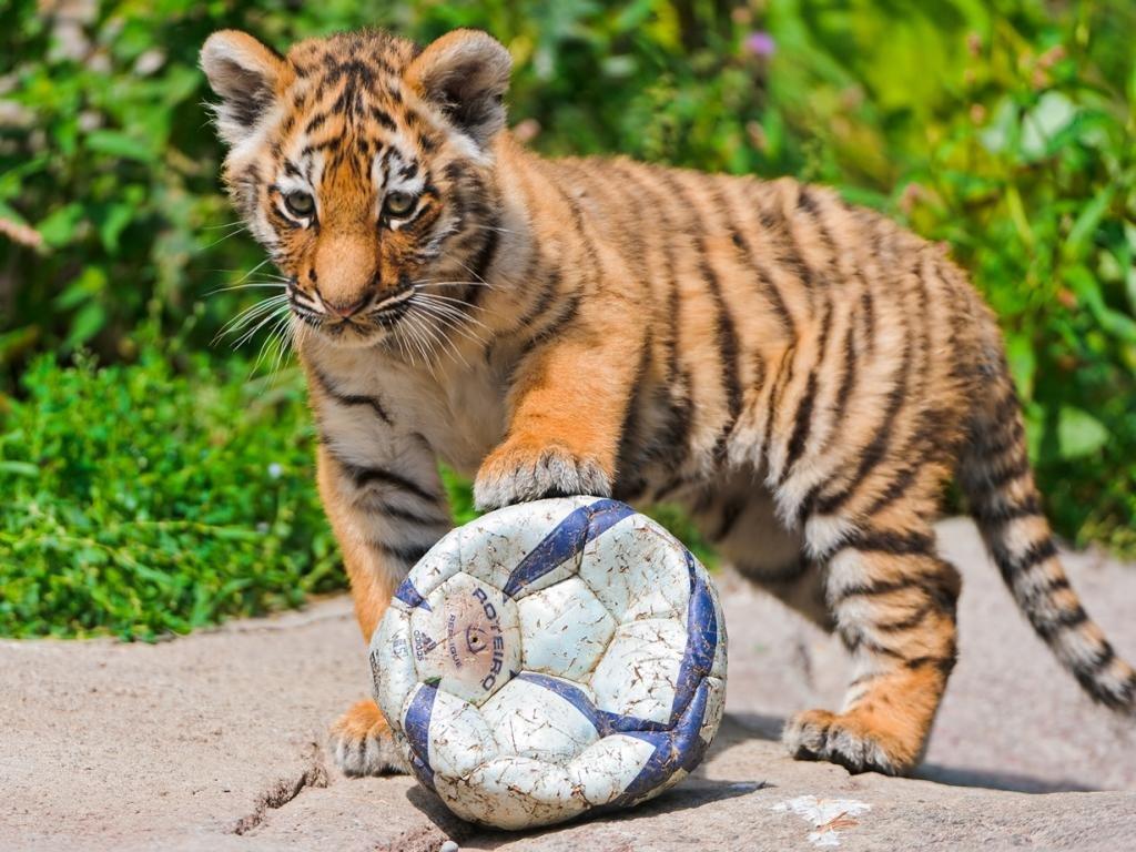 Детеныши животныÑ. Милые и пушистыеДетеныш тигра. (Tambako The Jaguar)