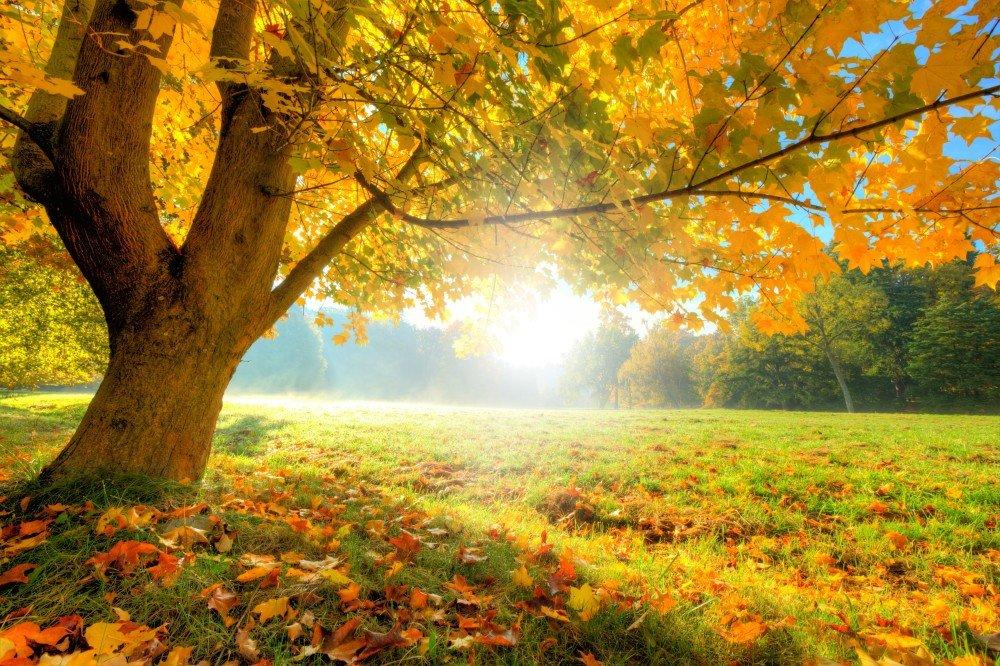 пожелтевшее осеннее дерево