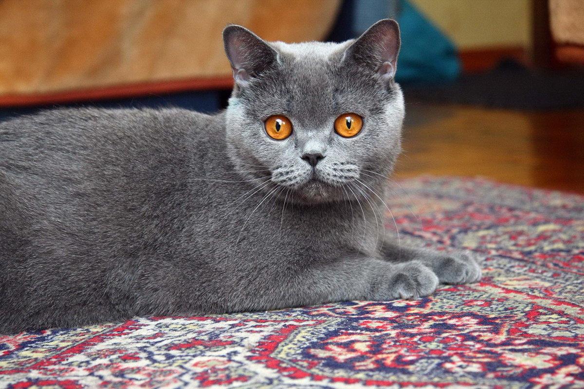 кошки фото британцы короткошерстные одной версий