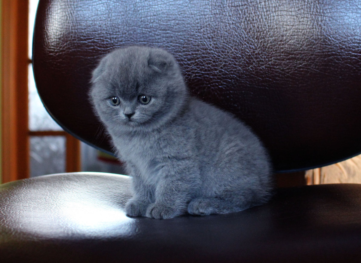 был серые вислоухие котята картинки псд