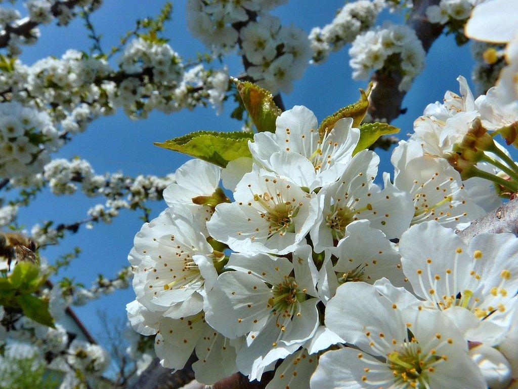 Картинки цветущие яблони весной
