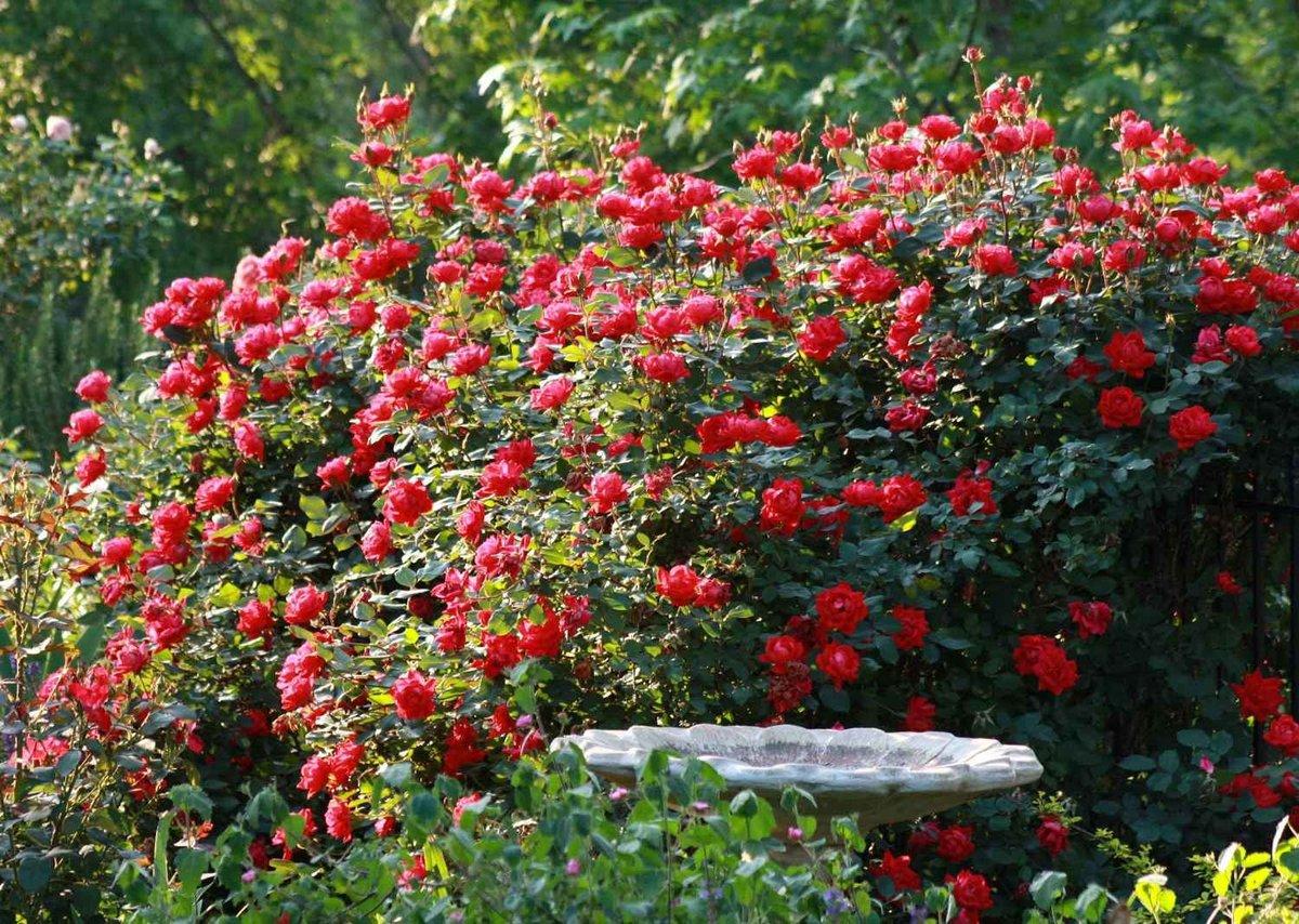 как растет роза фото алгоритм