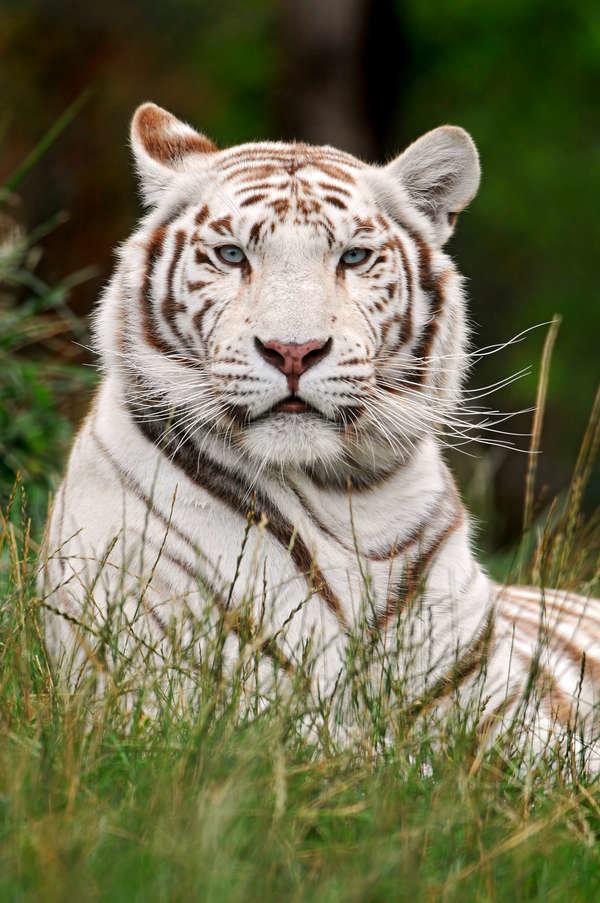 В природе белый тигр