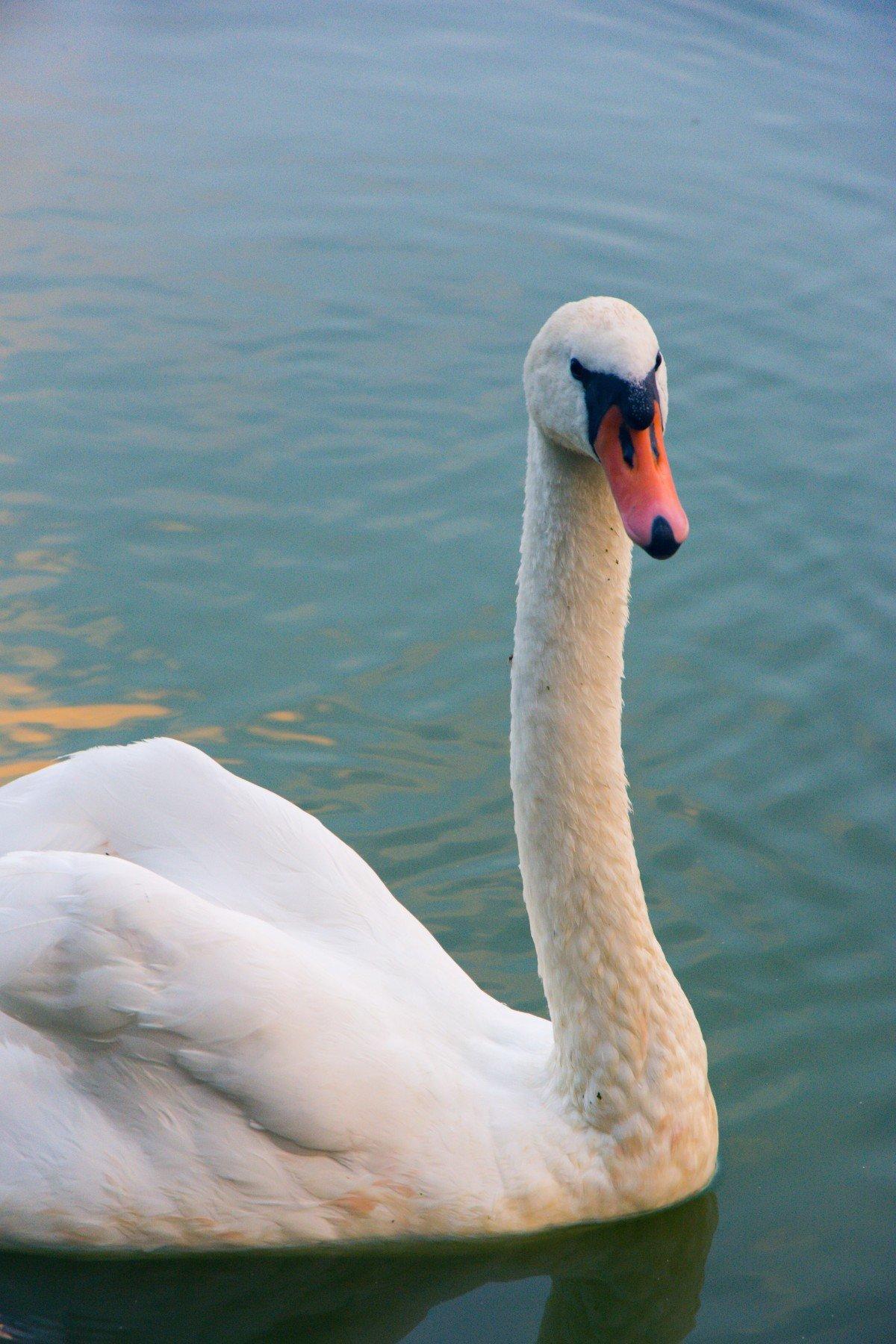 Белые лебедя картинки
