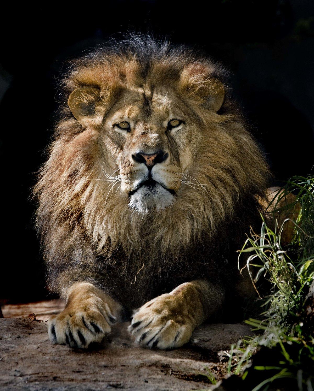 Миру гарри, классные картинки львов