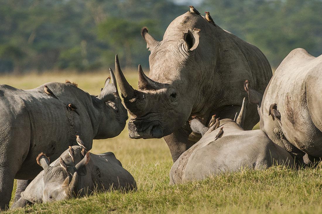 фото стадо носорогов квартира
