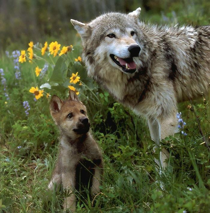 можно картинки волк и волчонок собак