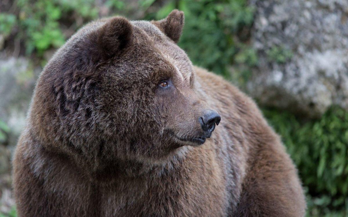 ухо медведя картинка уже