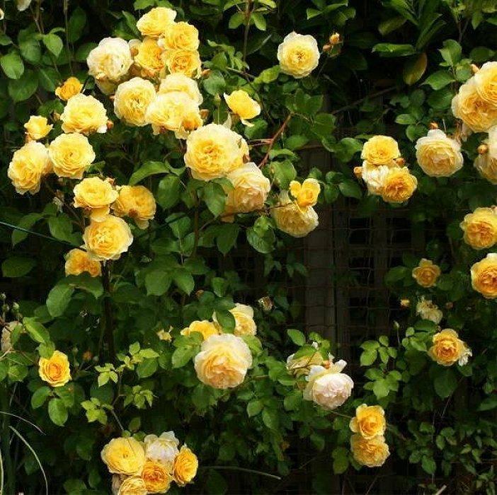 Роза казино энциклопедия роз