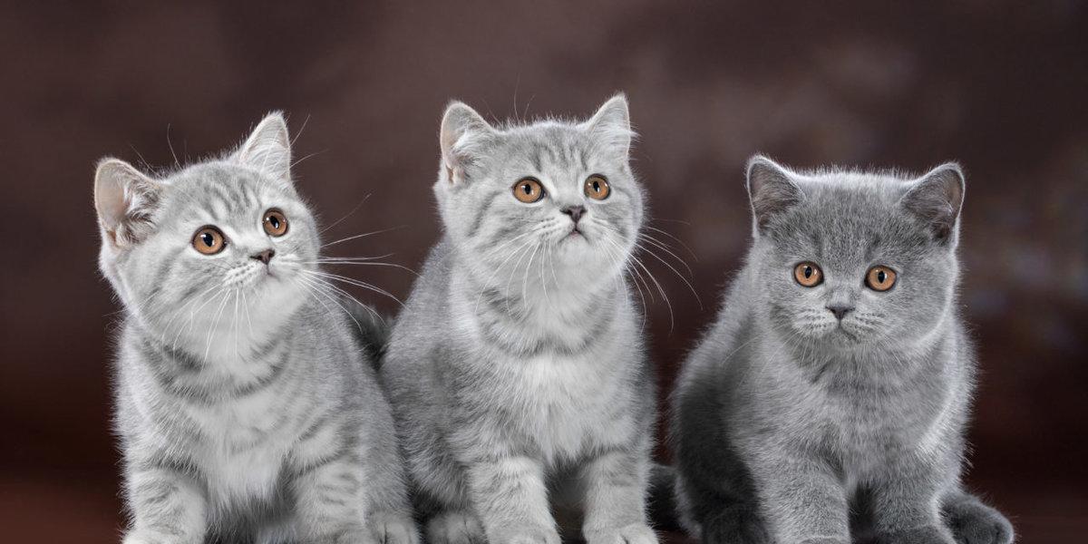 британский короткошерстный котенок фото времени, пустому