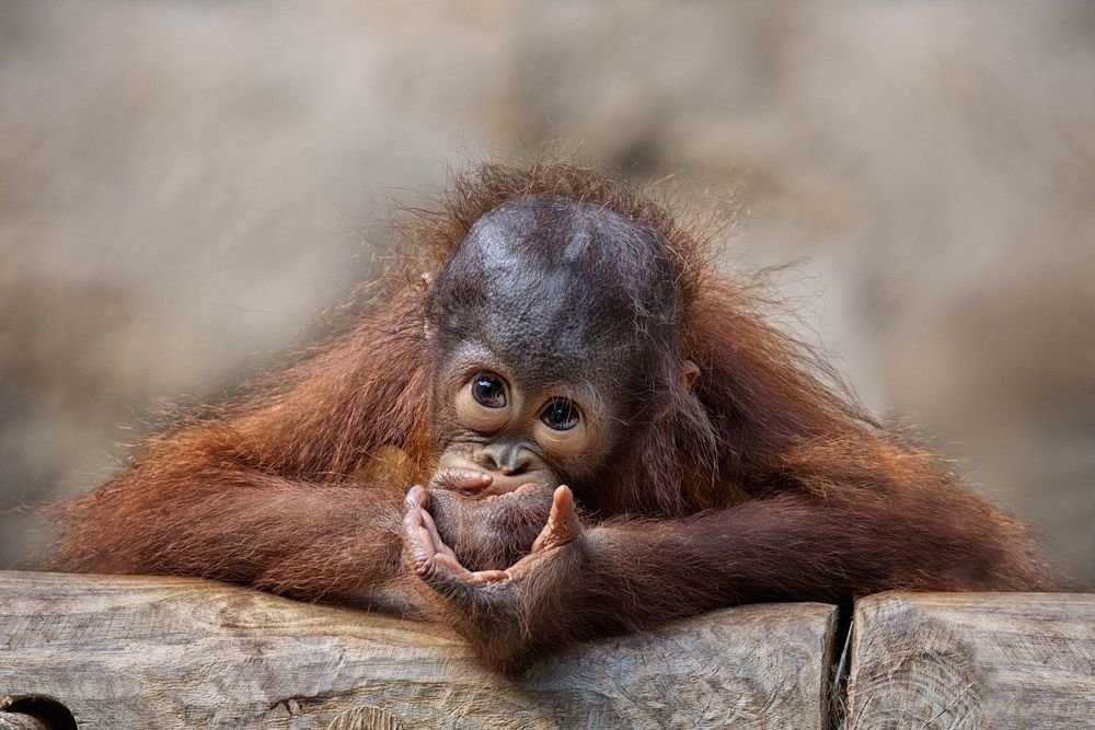 Самые смешные обезьяны картинки