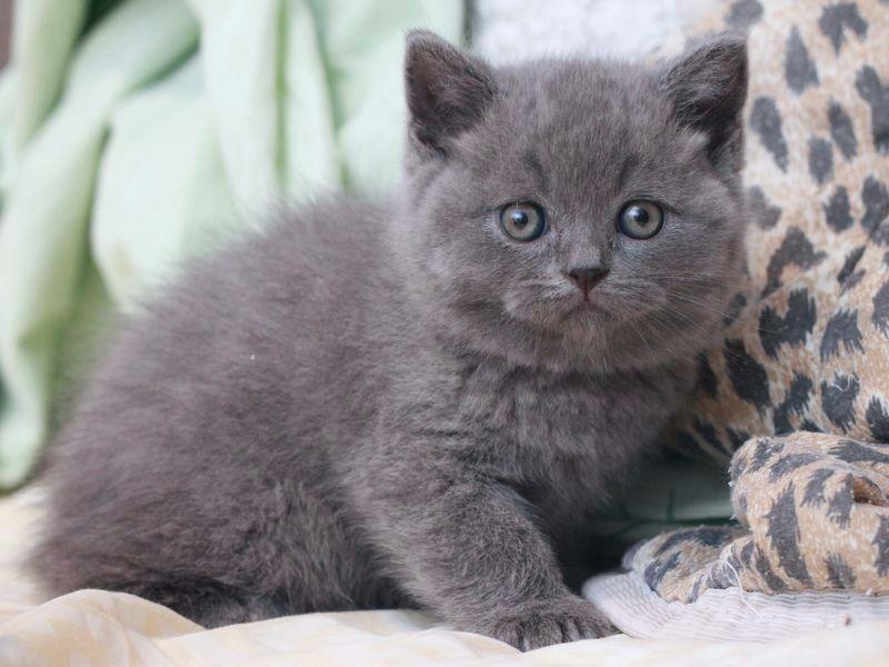 серые британские коты фото