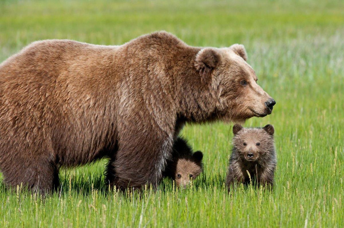 Картинки про медведя бурого