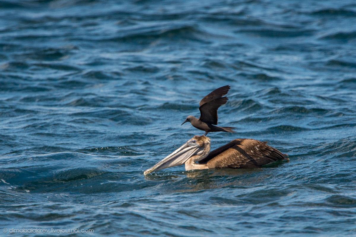 Рыба пеликан фото