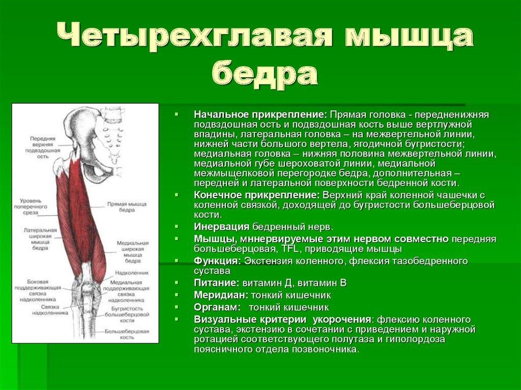 Какую функцию выполняет четырехглавая мышца бедра