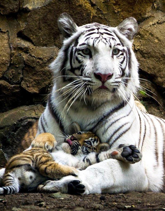 Белая тигрица с рыжим тигренком.