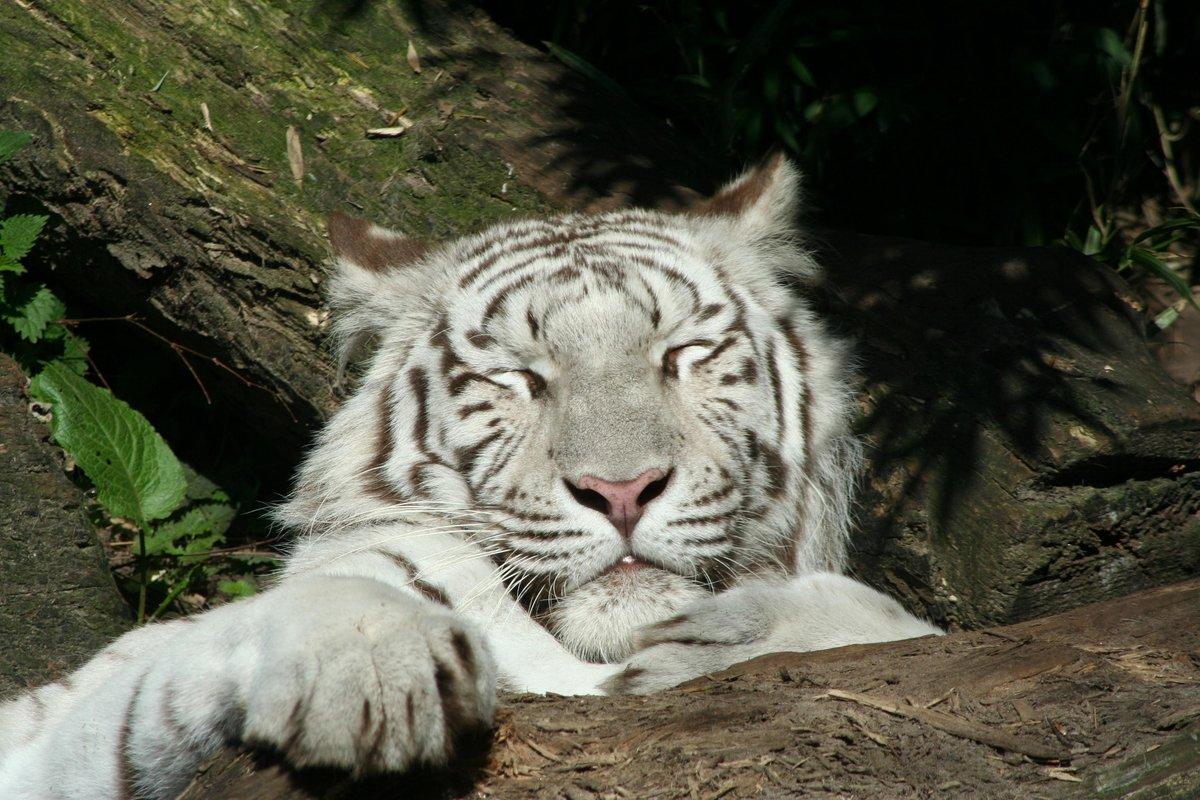 шатун картинка где тигр стойкостью