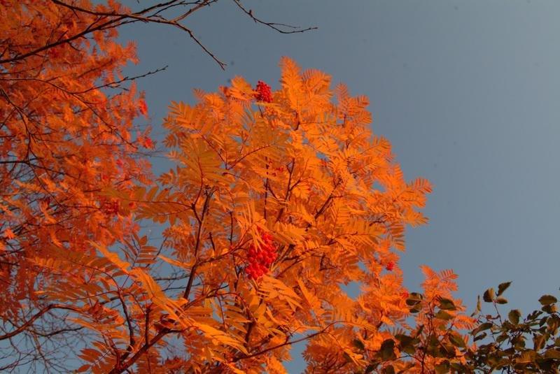 красная рябина осенью фото