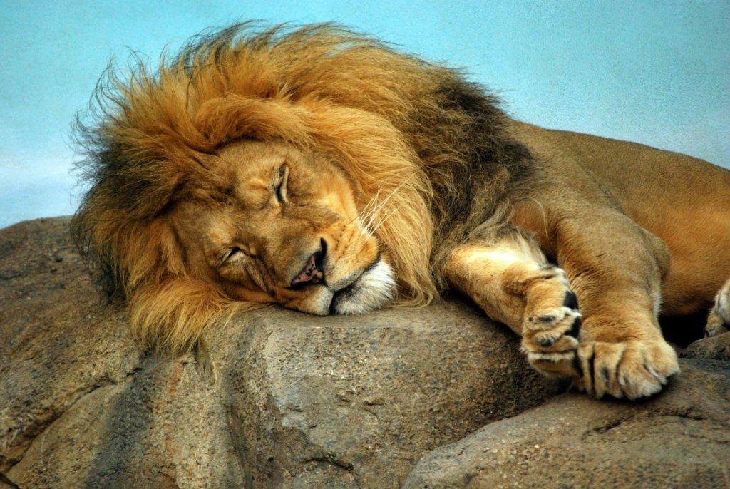 взаймы львы картинки классные фоток