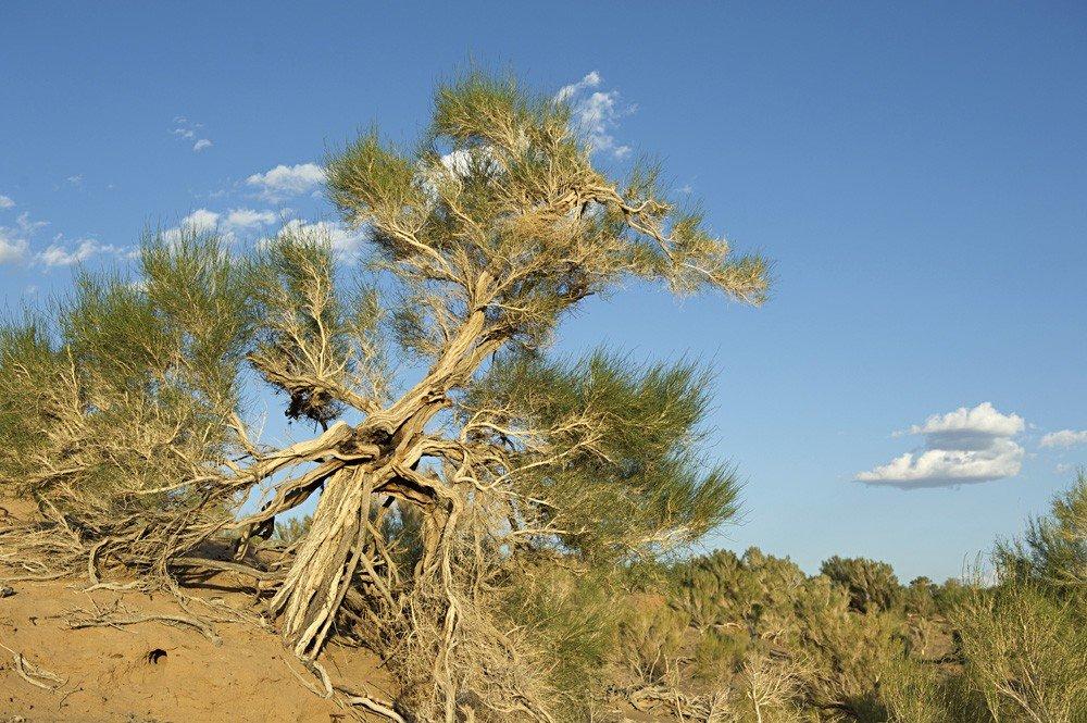 Дерево саксаул картинка