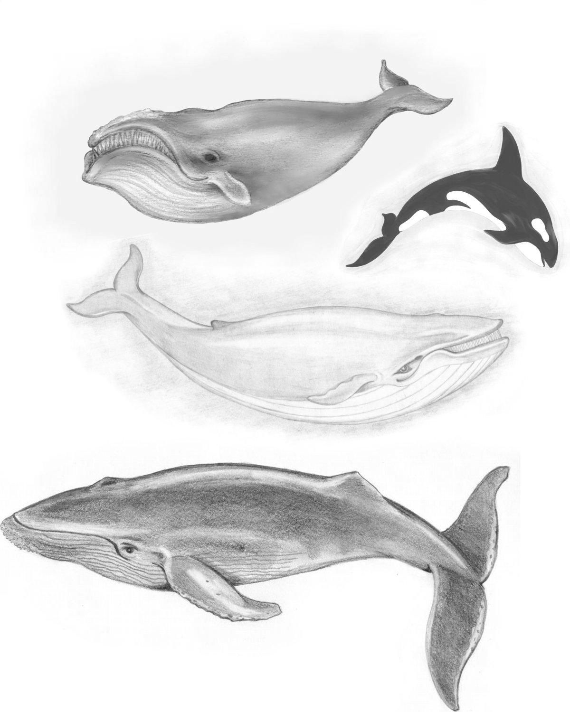 Картинки китов карандашом, открытки