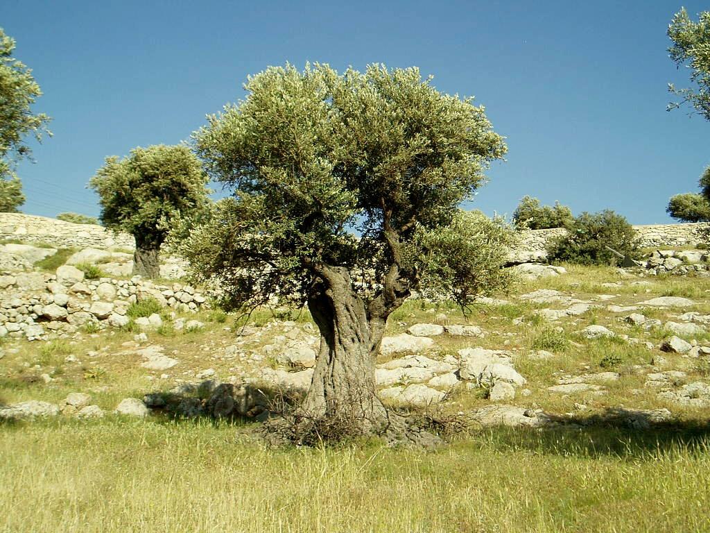 Оливковое дерево на фото