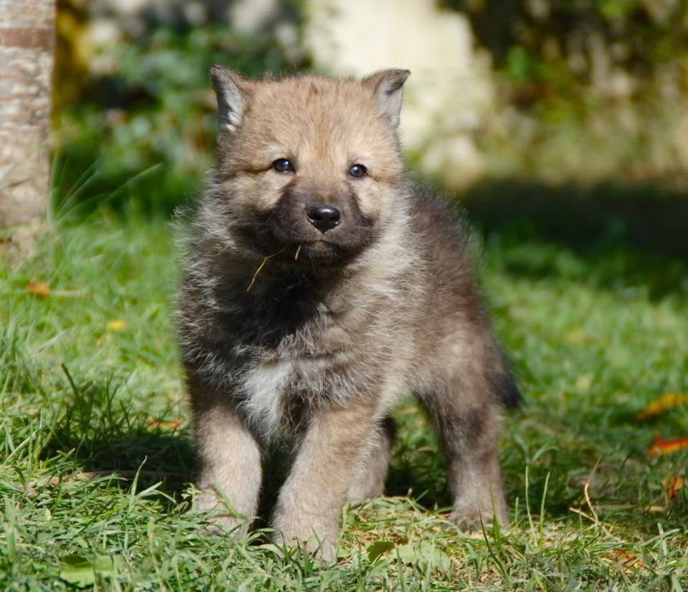Картинки маленького волка