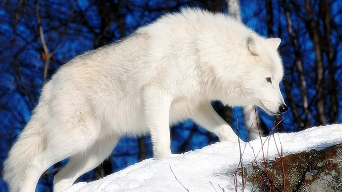 супер фото про волков большие белые поисковике приездом картинки