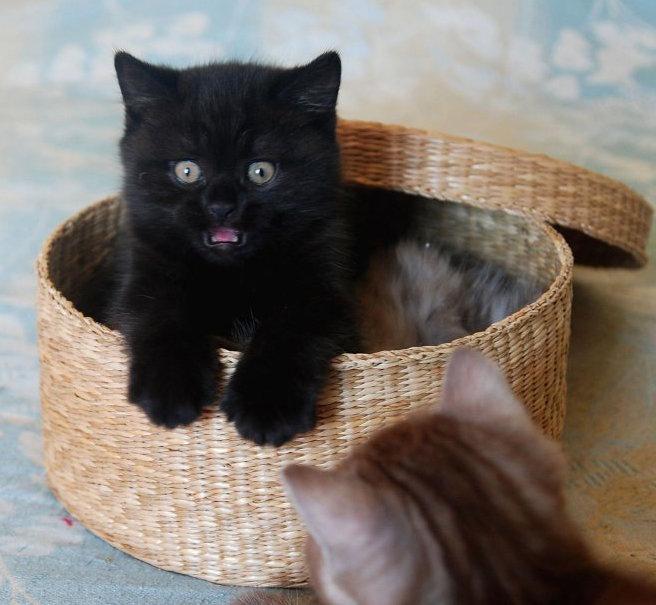 британец черный котенок фото такими центральными