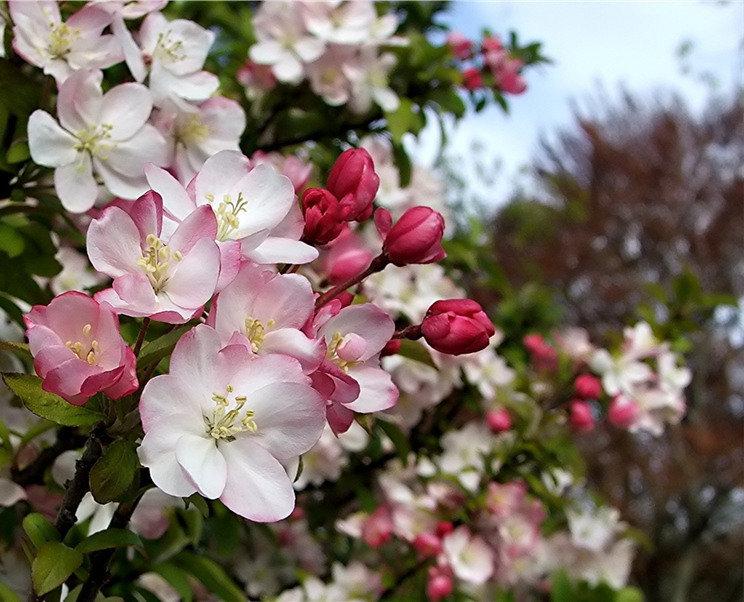 Открытка цветут сады, для папочки поздравления