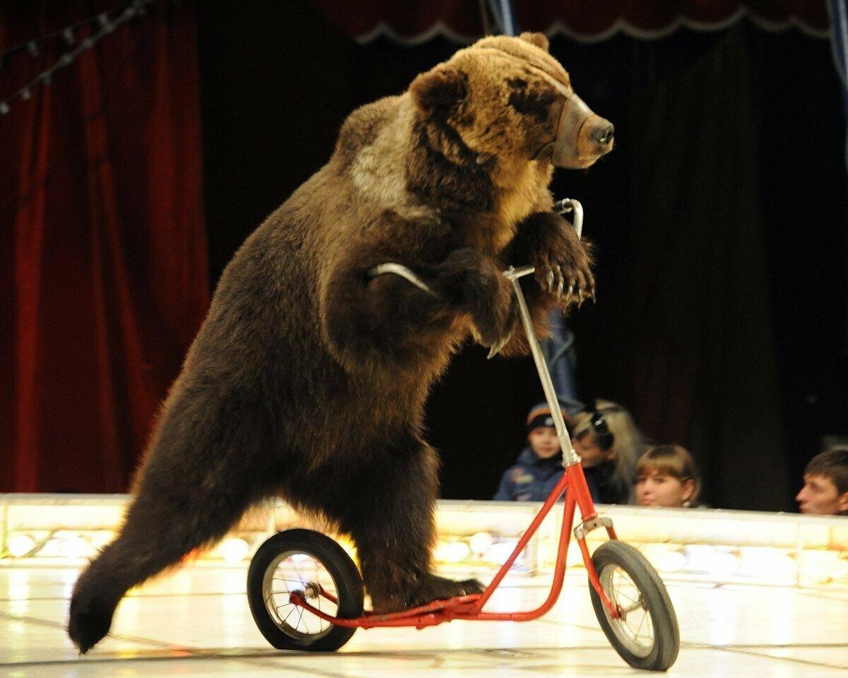 Цирковые медведи на велосипедах картинки