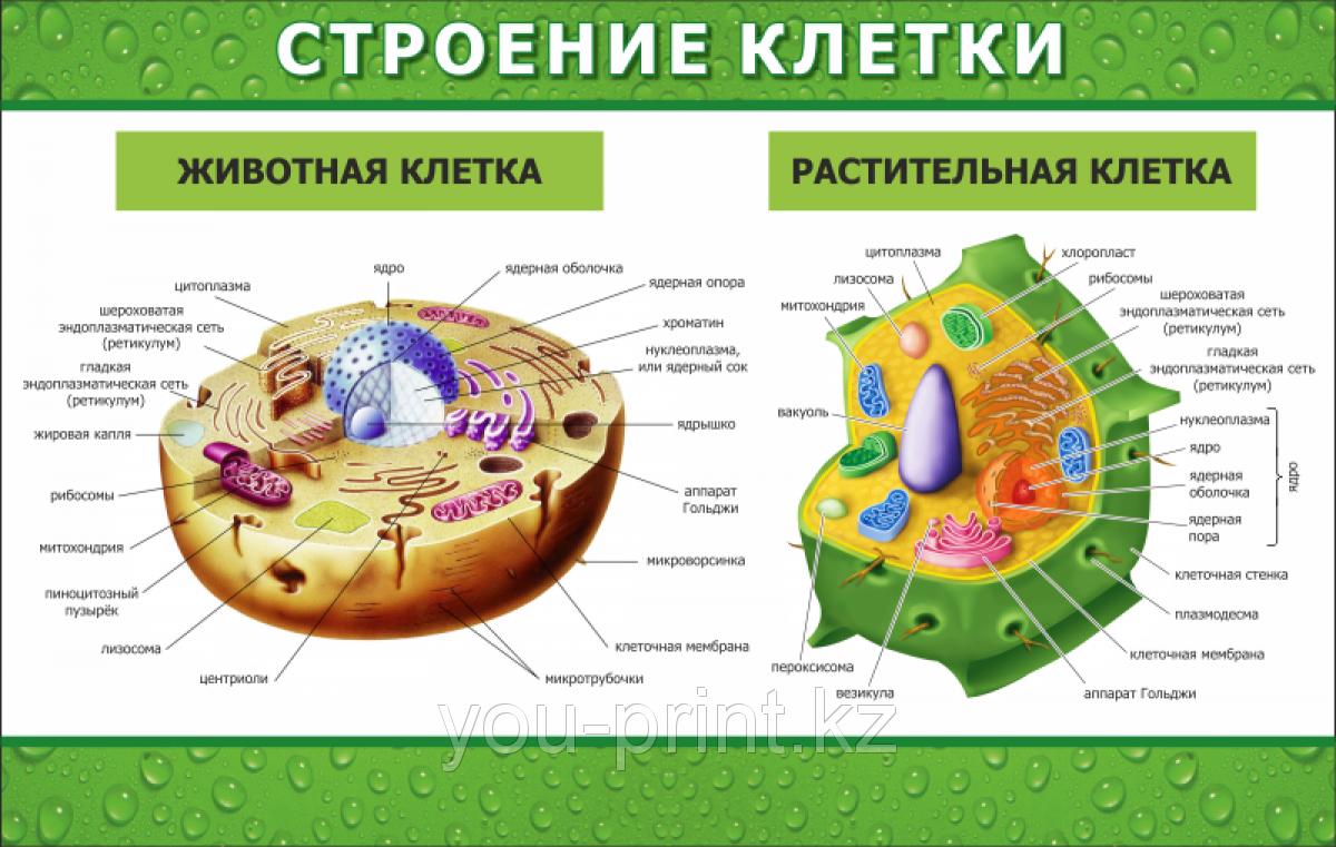 Клетка ее строение картинка