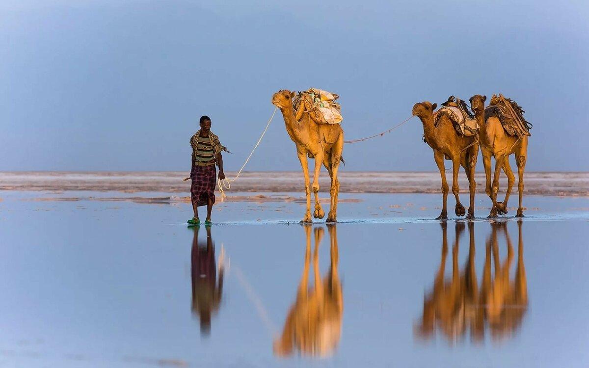 картинка верблюды корабли пустыни самом сердце зимы