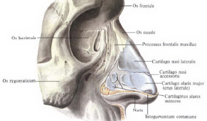 Кости носа картинки