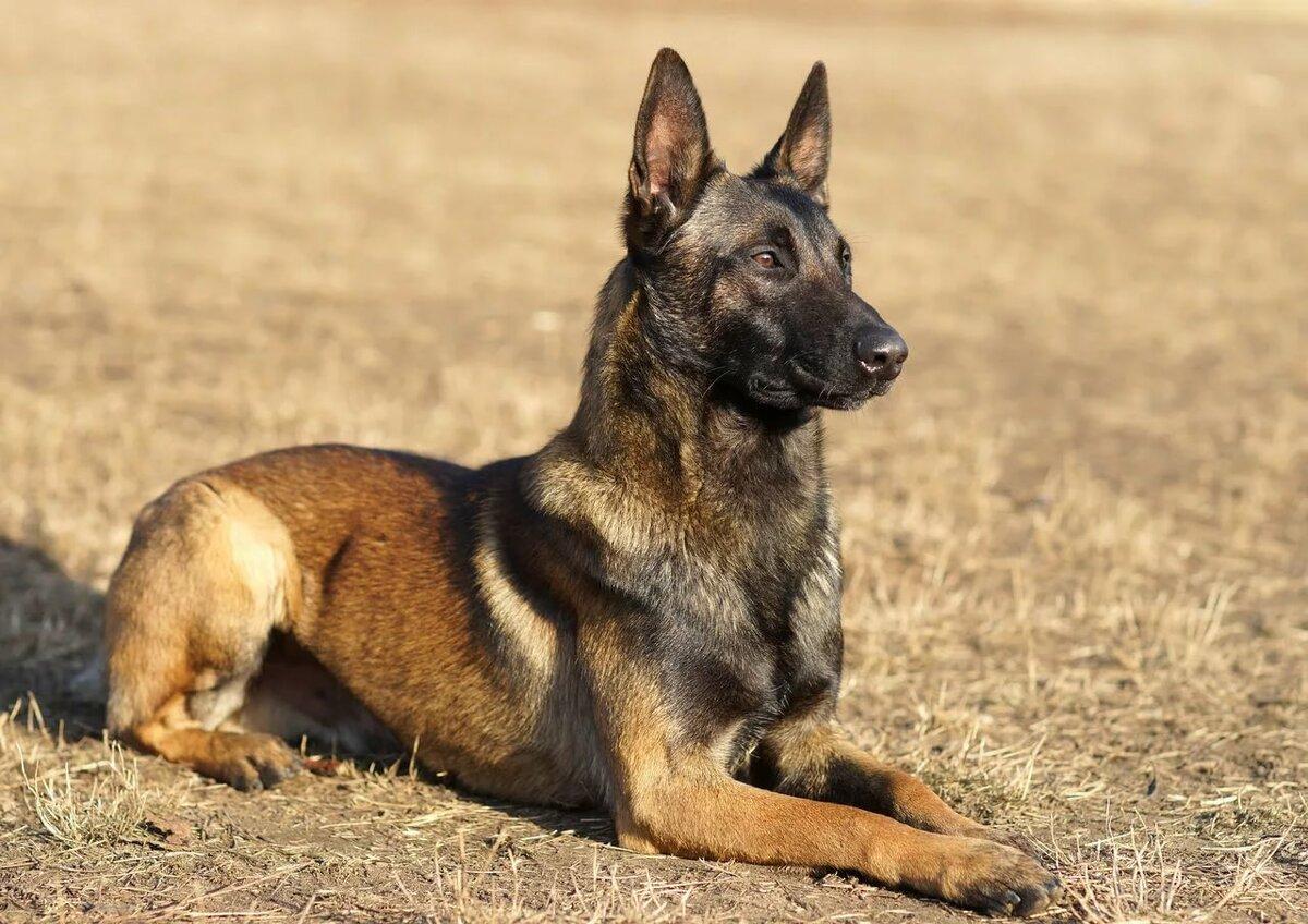 Овчарки собаки фото и названия пород