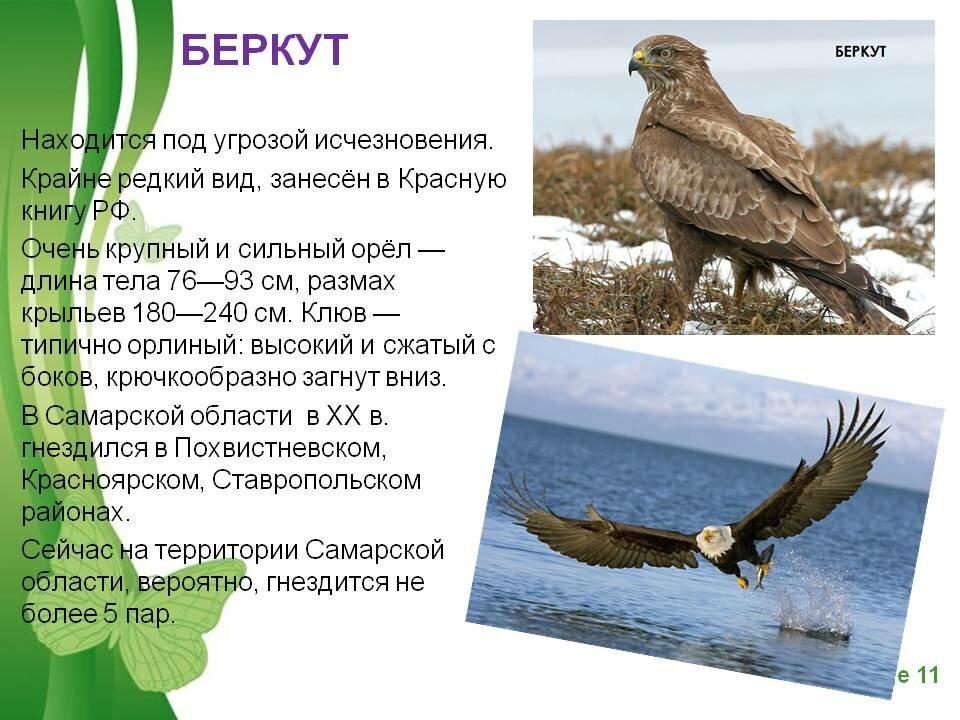 птица беркут фото и описание тем это просто