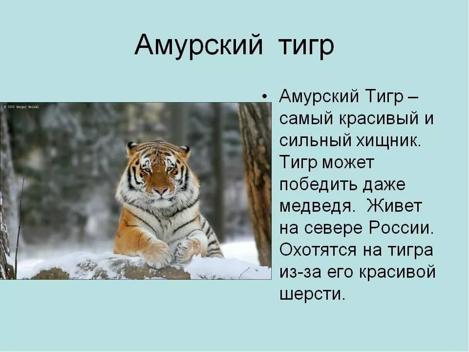картинке амурский тигр картинка с описанием время приема