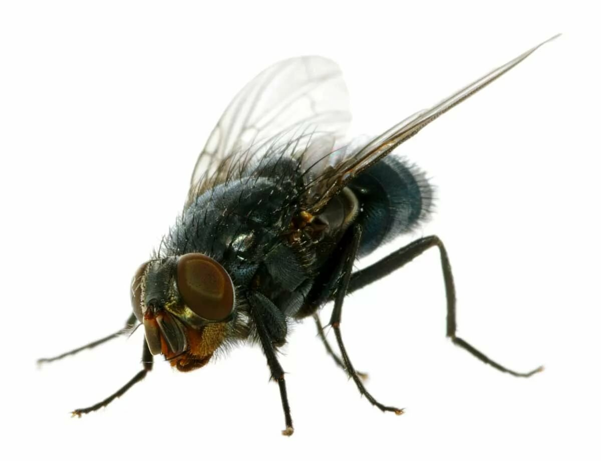 муха фото на белом фоне вот