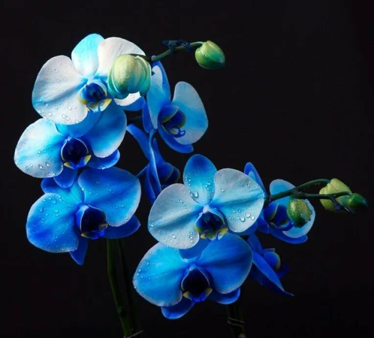 Картинки орхидеи синие