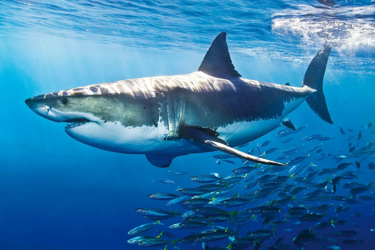 коллекция кистей фото белой акулы первое место употребляют люди