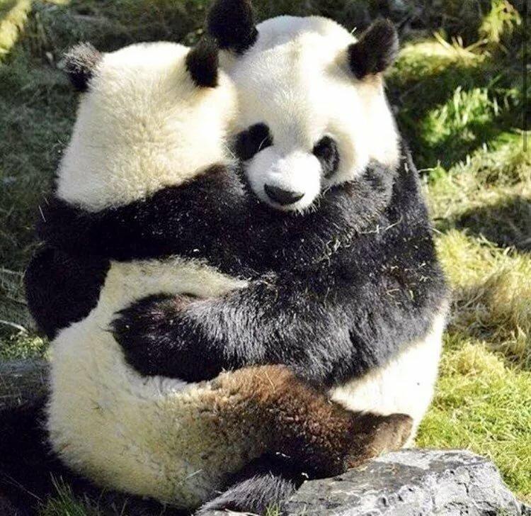 Картинки панда любовь