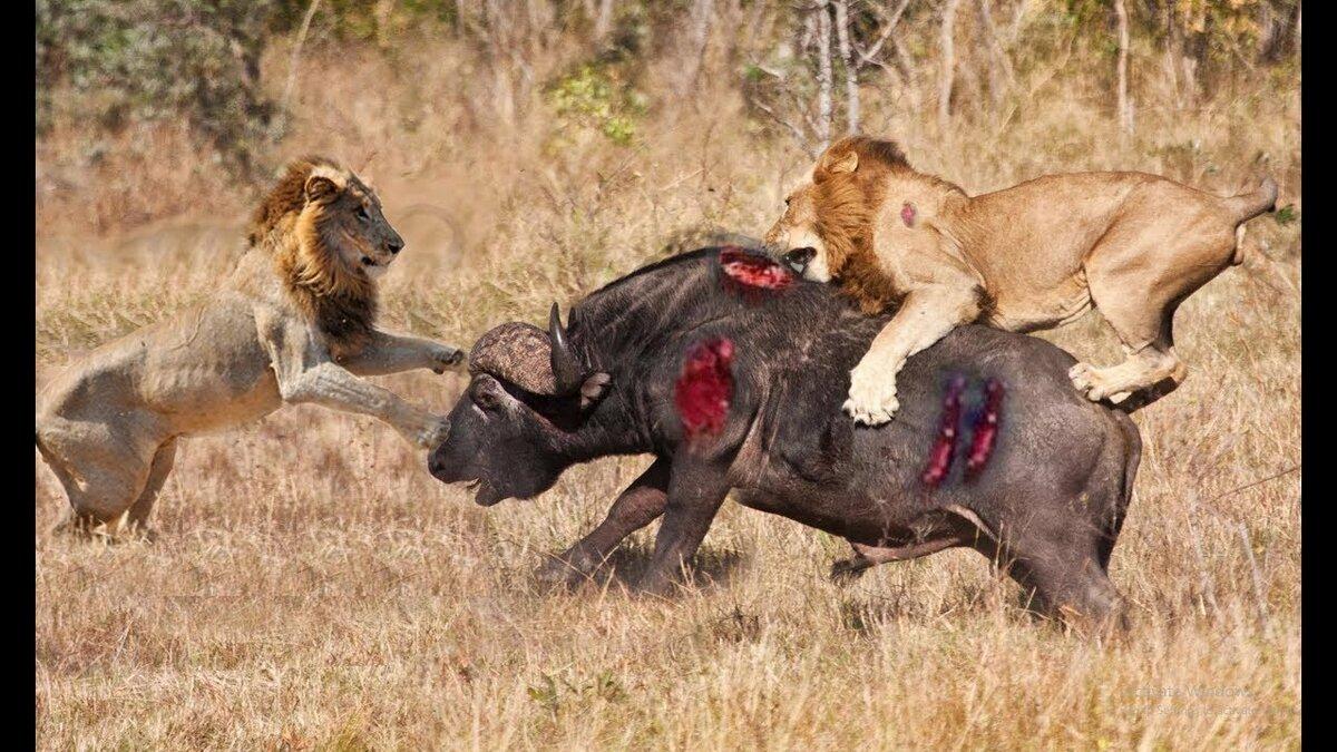 раз картинки лев против человека слову