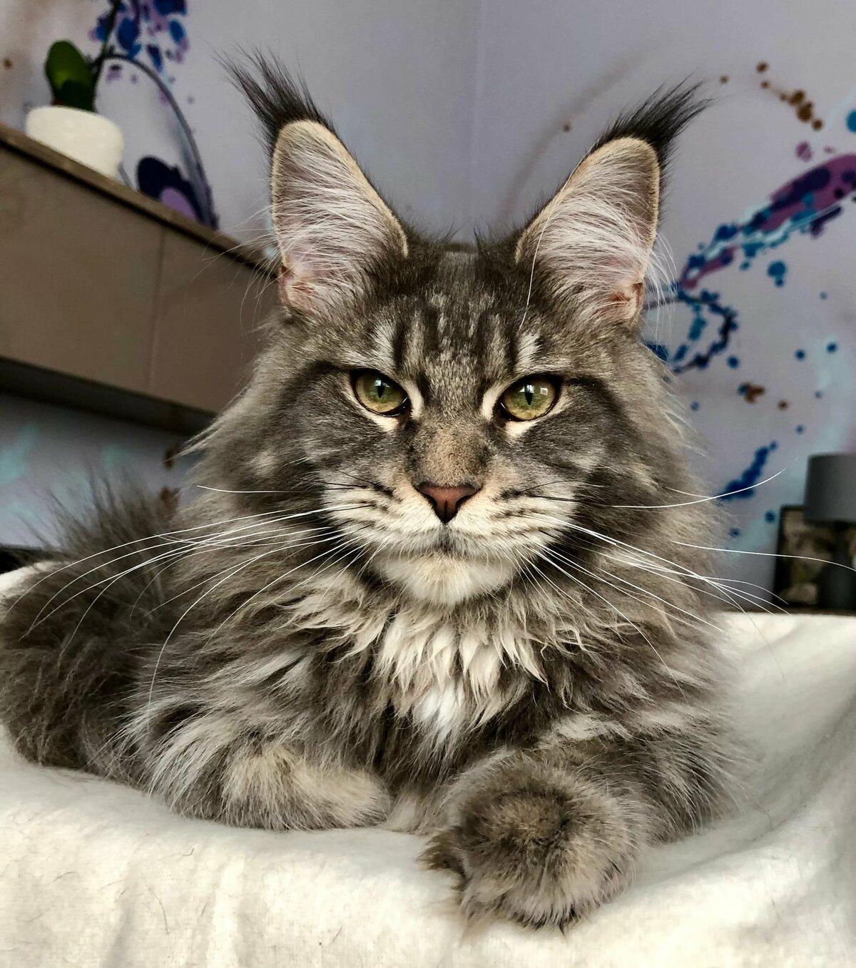 под картинка мейн кун кошка украшая