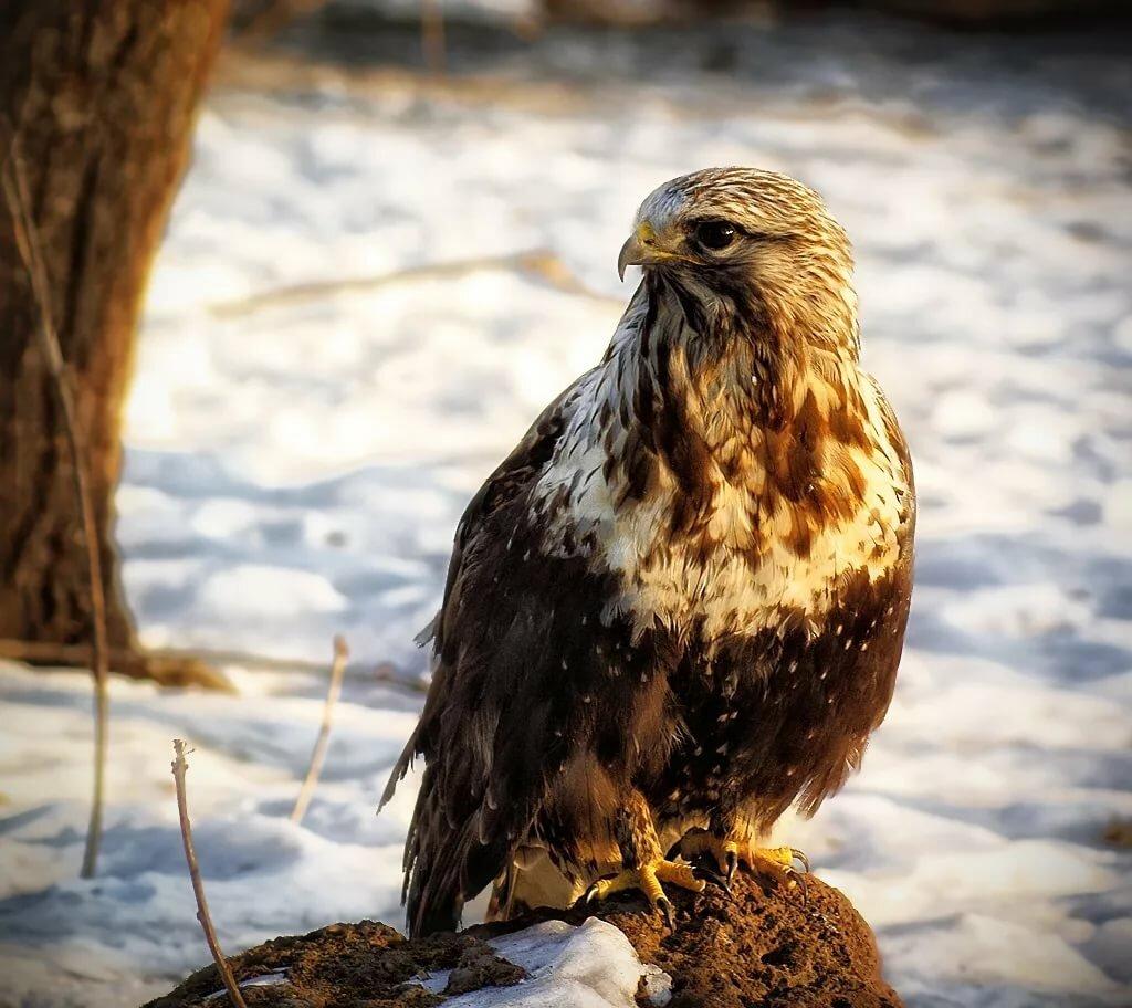 модельный ряд хищные птицы крыма с фото может